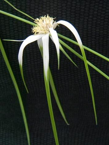 Rhynchospora colorata (= Dichromena colorata) - herbe aux étoiles Dicho110