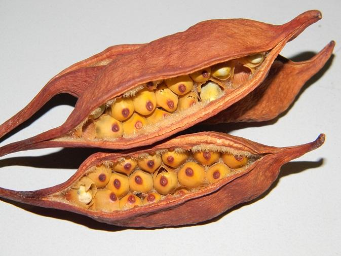 semis de Brachychiton Graine10