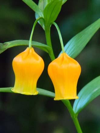 Sandersonia aurantiaca  Sander10