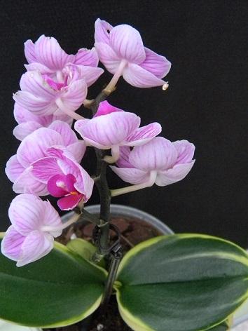 Phalaenopsis variegata Varie10