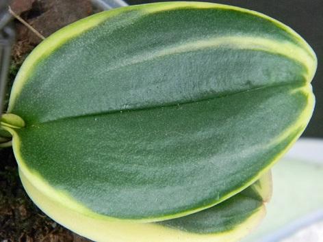 Phalaenopsis variegata Varie210