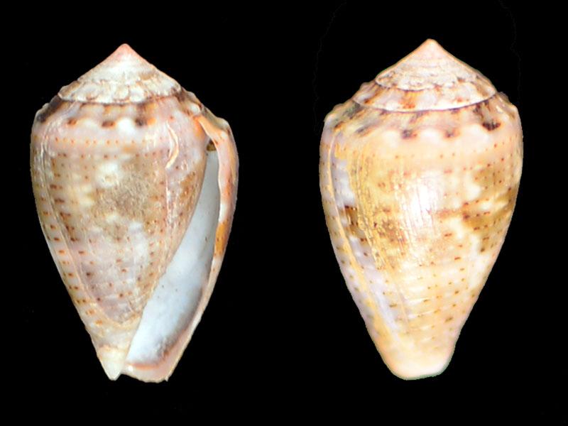 Trois petits pour lesquels je n'ai aucune piste = Miliariconus coronatus  _dsc6411