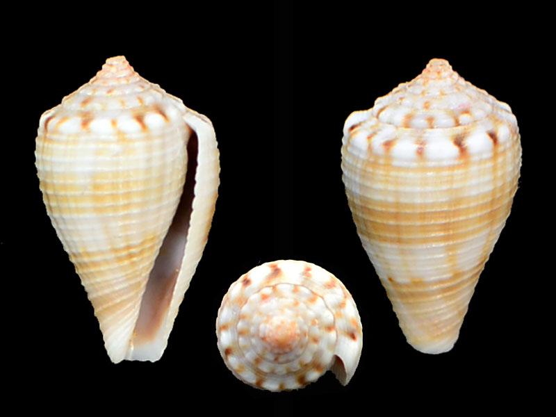 Gladioconus mus (Hwass/Bruguière, 1792)  ??? _dsc6413