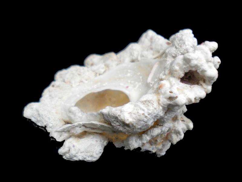 Xenophora flindersi - (Cotton & Godfrey, 1938) A-flin10