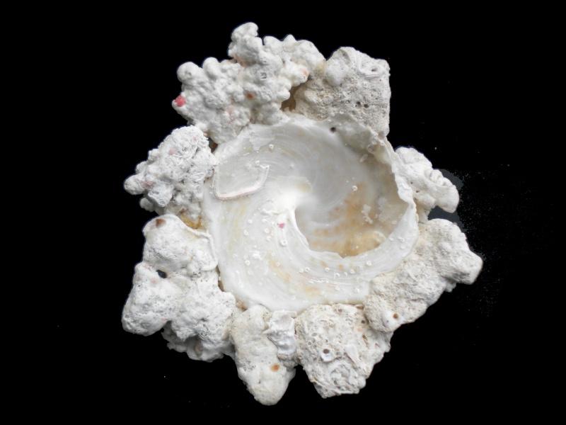 Xenophora flindersi - (Cotton & Godfrey, 1938) A-flin14