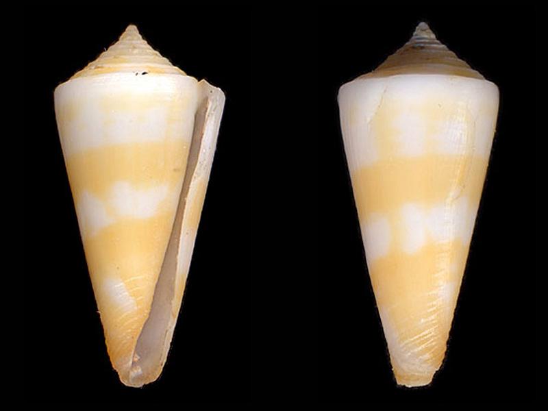 Conidae Conus (Attenuiconus) attenuatus - (Reeve, 1844) A_atte10