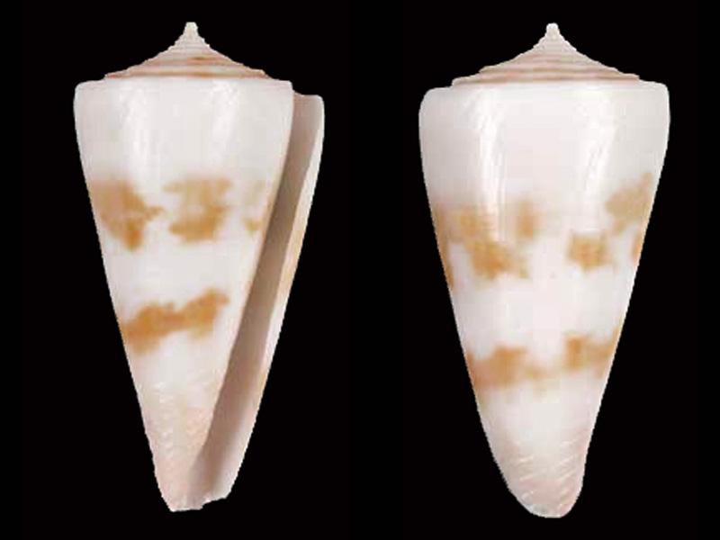 Conidae Conus (Attenuiconus) attenuatus - (Reeve, 1844) Attenu10