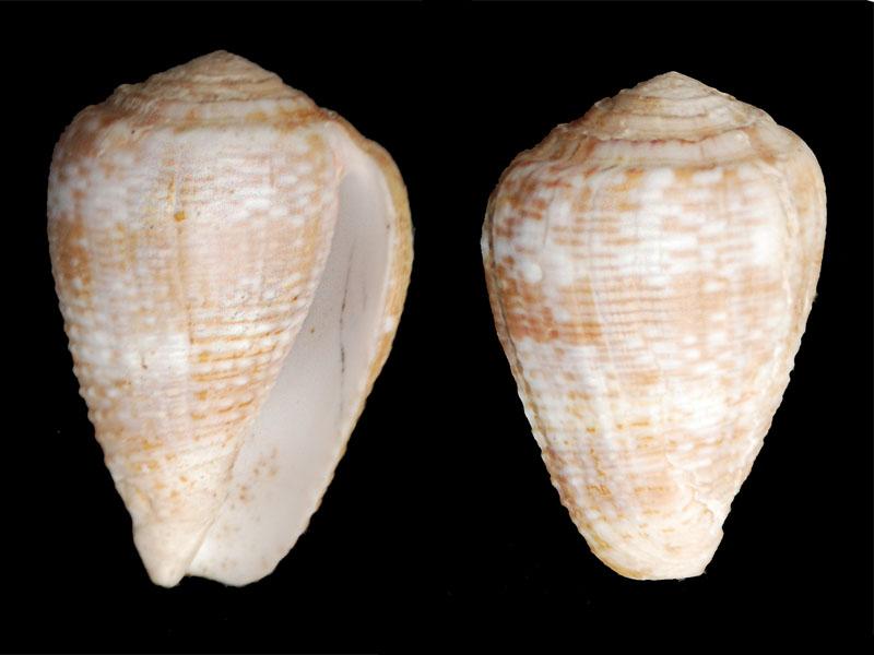 Conus (Pionoconus) catus rubrapapillosus  Dautzenberg 1937 Catus10
