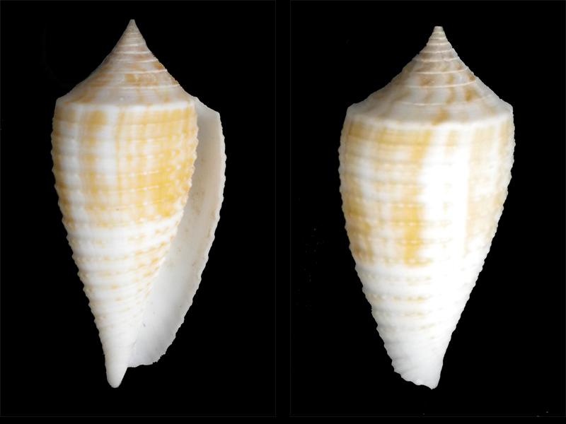 Conus (Phasmoconus) asiaticus   da Motta, 1985 Cone-010