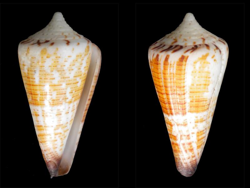 Conus maldivus! Cone-016
