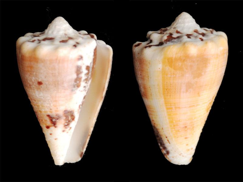 Stephanoconus  regius citrinus & regius  (Gmelin, 1791)  ??? Conus-12