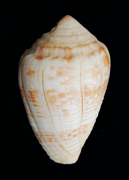 Cônes à identifier - Je vois le fond de la boîte = conus catus et miliaris Conus-14