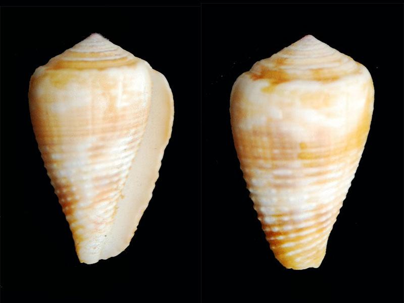 Cônes à identifier - Je vois le fond de la boîte = conus catus et miliaris Conus-15