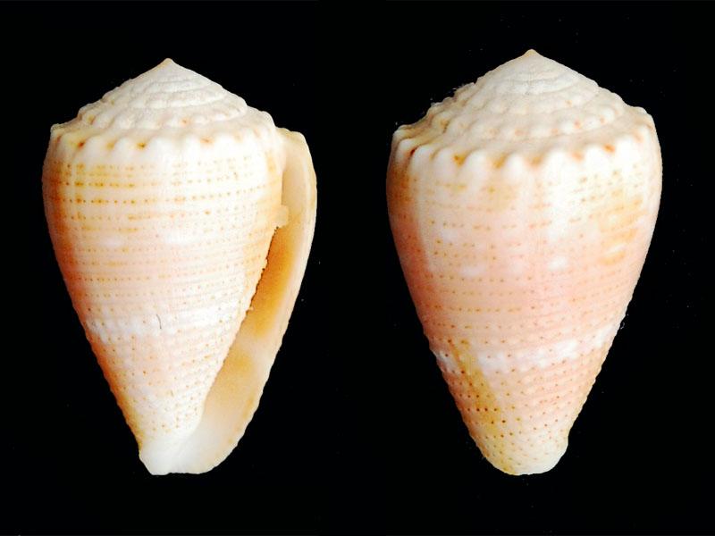 Cônes à identifier - Je vois le fond de la boîte = conus catus et miliaris Conus-16