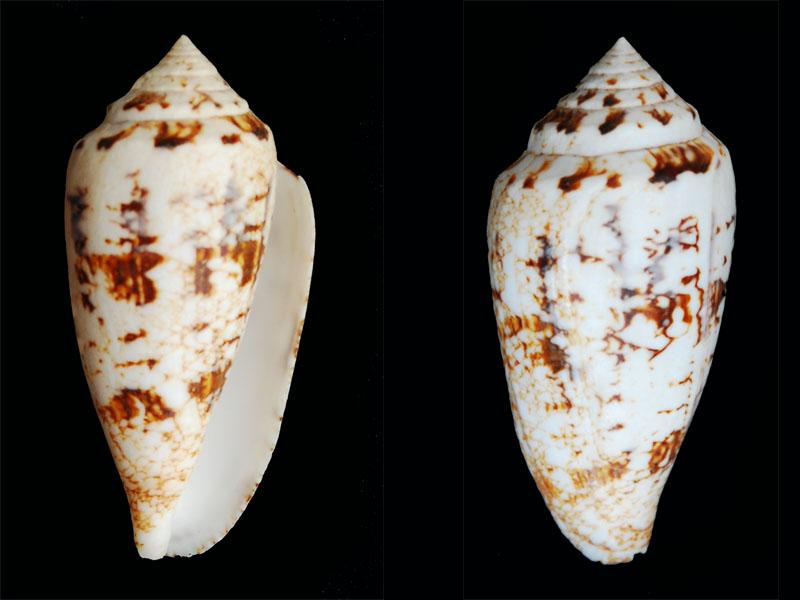 Conus (Cylinder) victoriae   Reeve, 1843 - Page 2 Conus-17