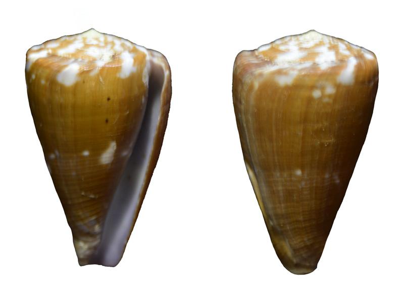 Conus ... namocanus_et_rattus Conus-19