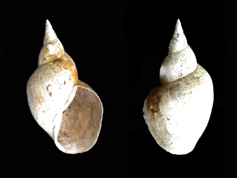 Lymnaea stagnalis  (Linnaeus , 1758) Coquyv10