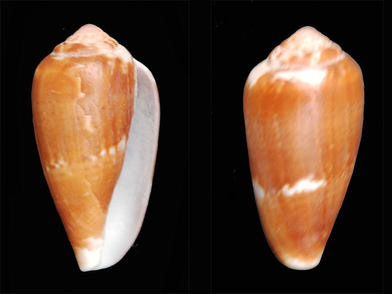 Ketyconus tinianus  (Hwass in Bruguière, 1792) ?? Dsc_0015