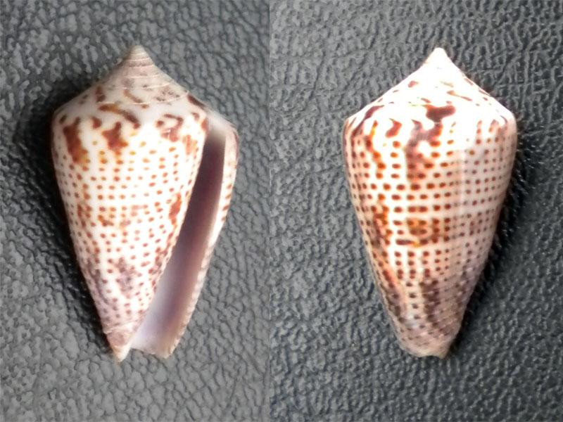 Perplexiconus perplexus (G. B. Sowerby II, 1857) ??? Dscn6010