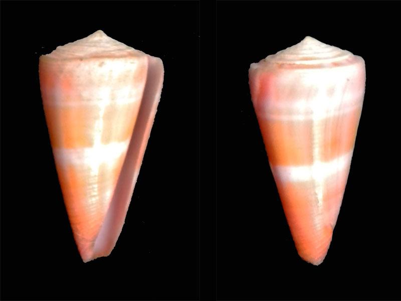 Attenuiconus attenuatus (Reeve, 1844) ?? Dscn6014