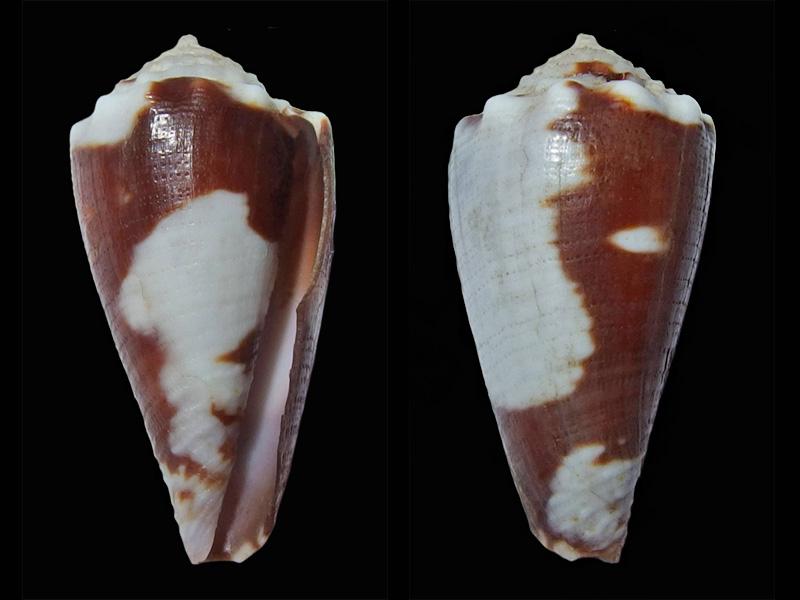 Conus (Phasmoconus) exiguus cabritii (Bernardi, 1858) voir Conus (Ph.) exiguus  Fulgic10