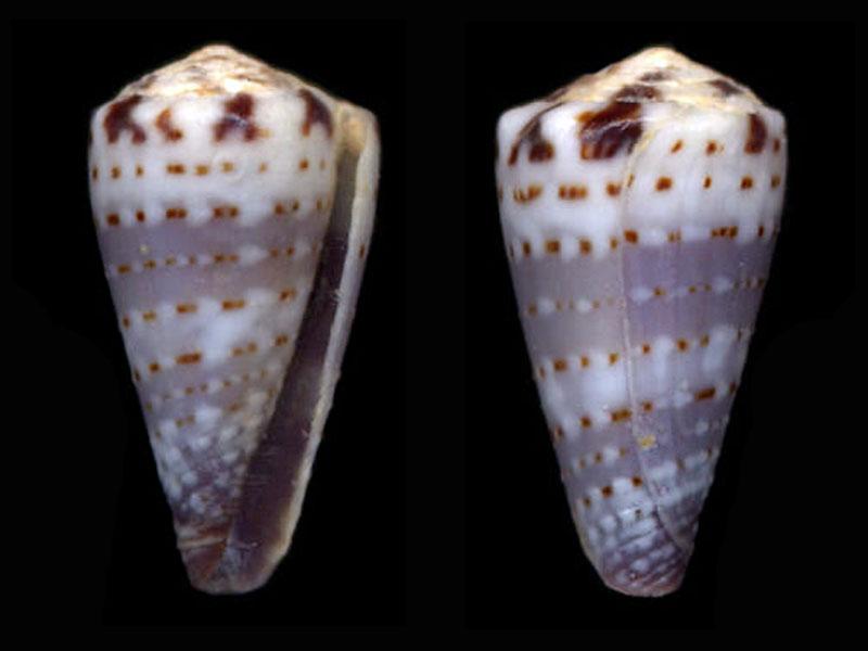 Conus (Harmoniconus) musicus  Hwass in Bruguière, 1792 H_musi10