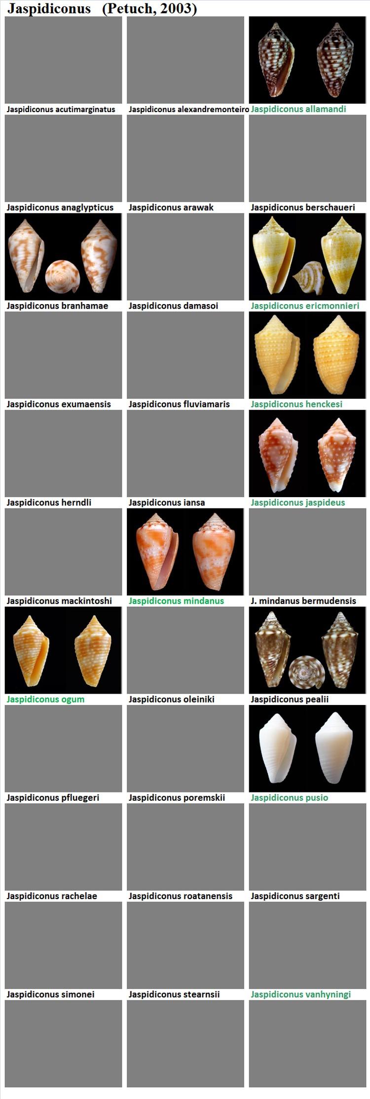 Conidae Jaspidiconus (obsolète) - Le genre intégré à Conasprella (Ximeniconus) Jaspid11