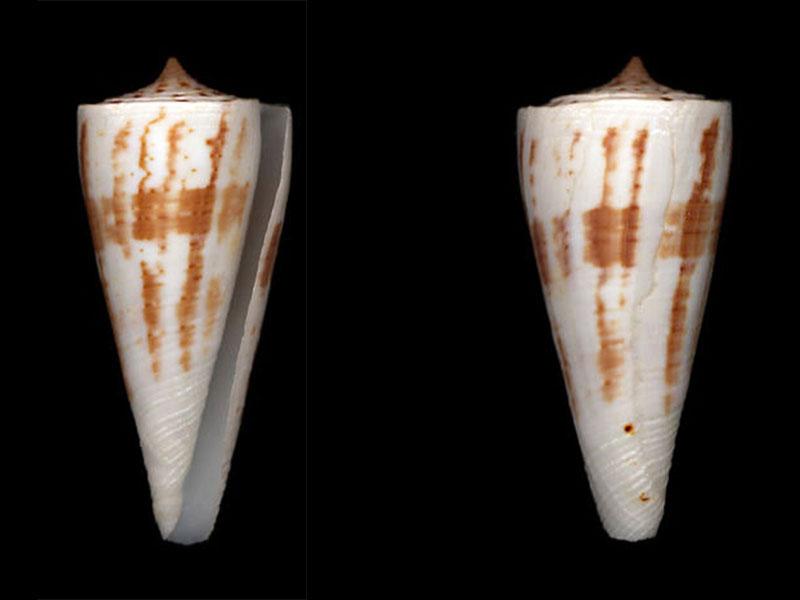 conus à identifier = Kioconus sukhadwalai  K_trib10