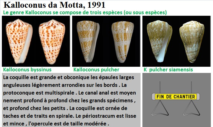 Conidae Conus (Kalloconus) - Le genre, ses espèces, la planche 03/03 Kalloc11