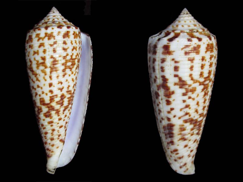 Conus (Phasmoconus) laterculatus   GB. Sowerby II, 1870 - Page 2 P_late10