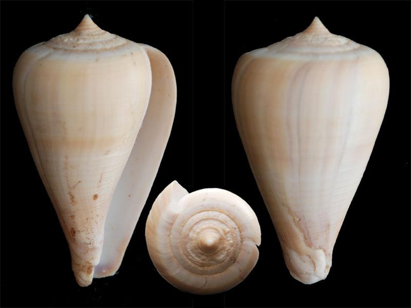 Pyruconus patricius (Hinds, 1843) Patric10