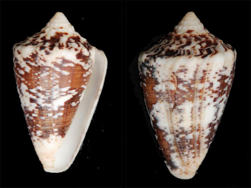 Stephanoconus  regius citrinus & regius  (Gmelin, 1791)  ??? Regius10