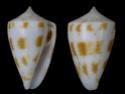 Conus  Linnaeus, 1758 A_sydn10