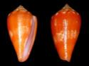 Conus  Linnaeus, 1758 G_glen10