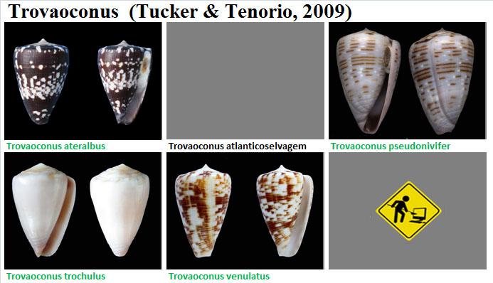 Conidae Trovaoconus (obsolète) - Le genre, intégré à Conus (Kalloconus) Trovao11