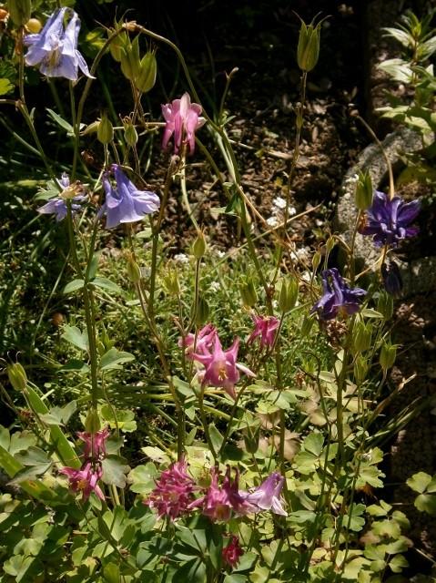 Hahnenfußgewächse (Ranunculaceae) - Winterlinge, Adonisröschen, Trollblumen, Anemonen, Clematis, uvm. - Seite 2 Akelei10