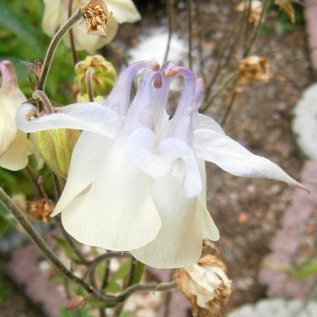 Hahnenfußgewächse (Ranunculaceae) - Winterlinge, Adonisröschen, Trollblumen, Anemonen, Clematis, uvm. Aquile10