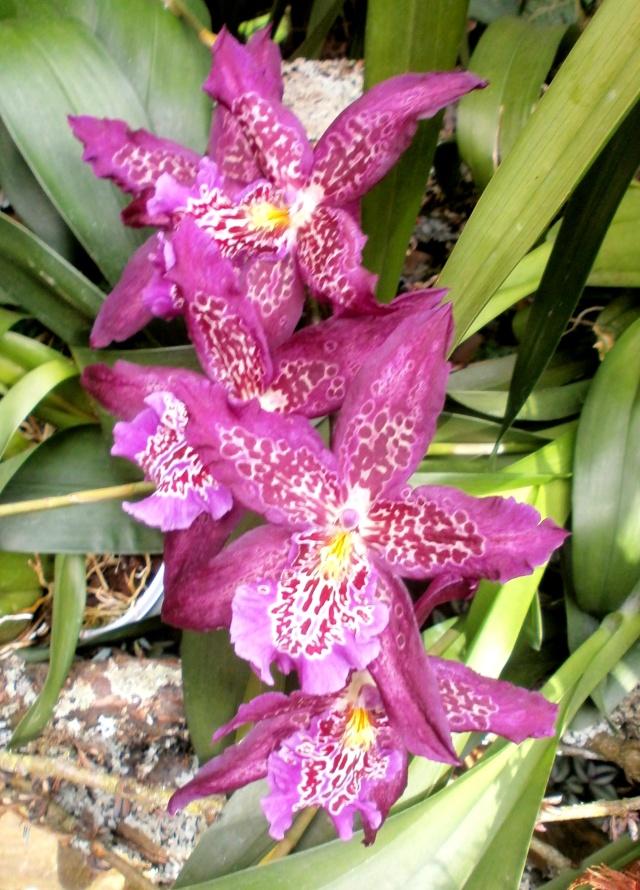 Orchideen-Ausstellungen aus aller Welt - Seite 3 Bealla10