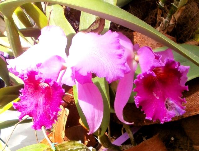 Orchideen-Ausstellungen aus aller Welt - Seite 3 Cattle10