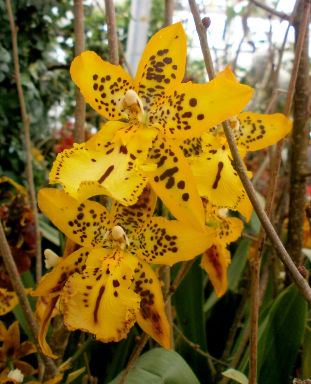 Orchideen-Ausstellungen aus aller Welt - Seite 3 Odonto10