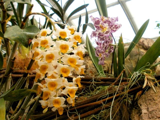 Orchideen-Ausstellungen aus aller Welt - Seite 3 Orchid15