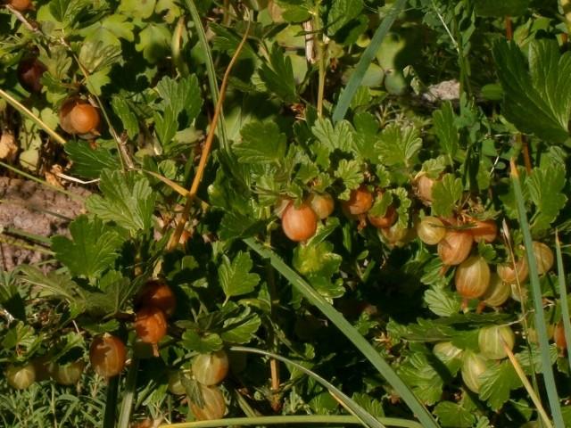 Was für Obstsorten habt Ihr denn im Garten? Aussaat, Spalier, Beerensträucher, Erfahrung und Hilfe :) - Seite 3 Ribes_10