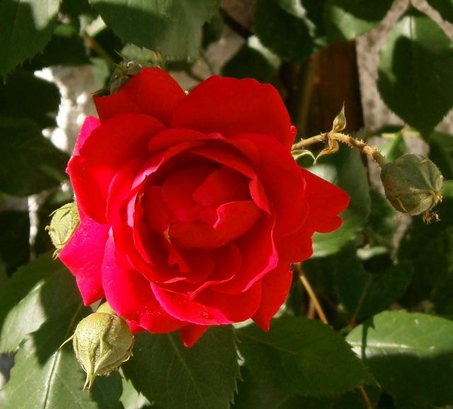 """Rosen - ein Thread für die """"Königin"""" - Seite 4 Rosa_k10"""