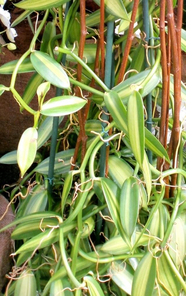 Orchideen-Ausstellungen aus aller Welt - Seite 3 Vanill10