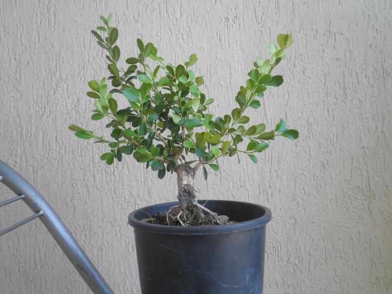 pianta di bosso P8040123