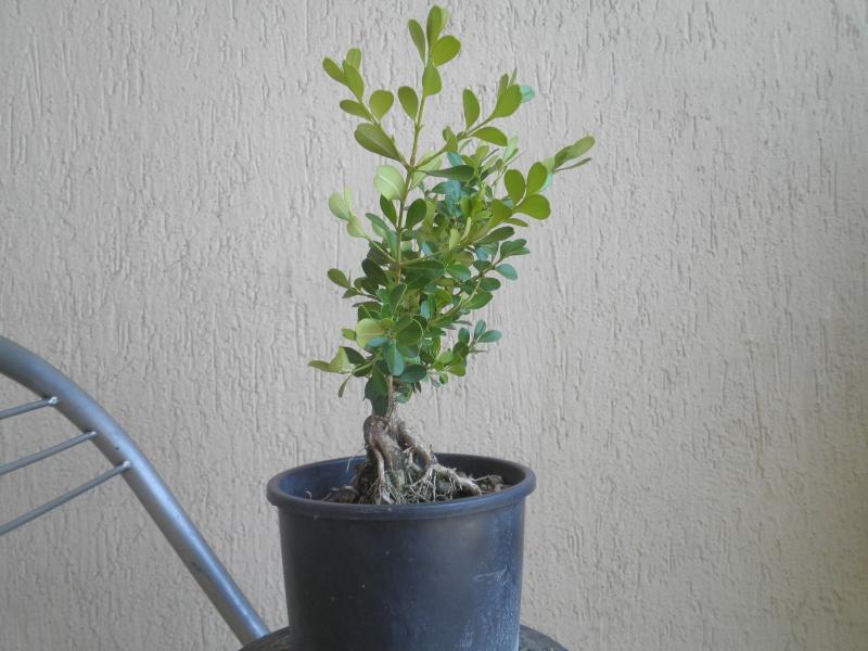 pianta di bosso P8040124