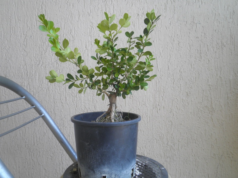 pianta di bosso P8040125