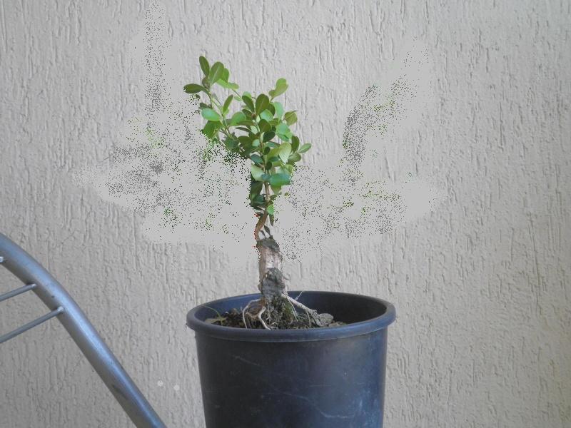 pianta di bosso P8040133