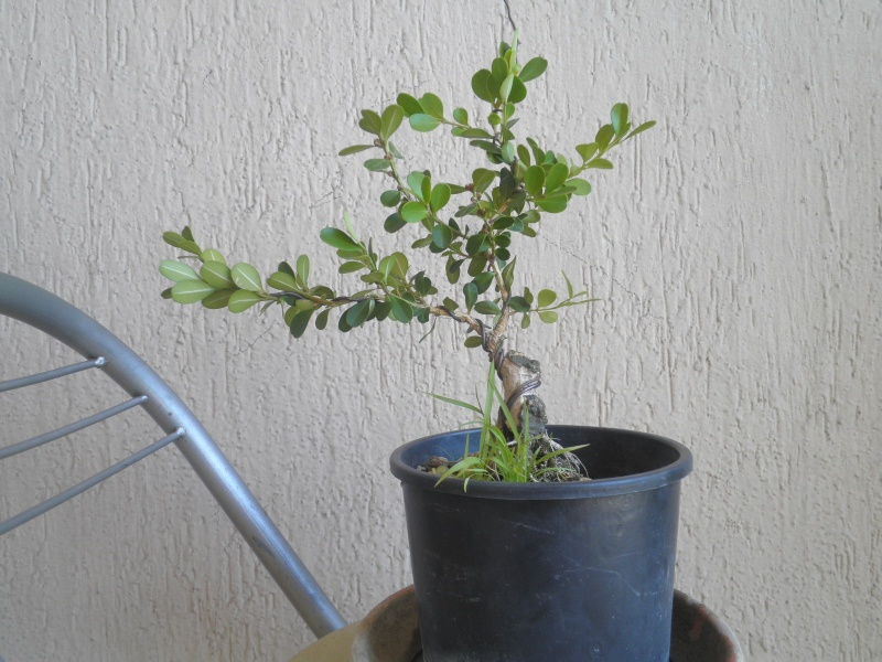pianta di bosso P8280111