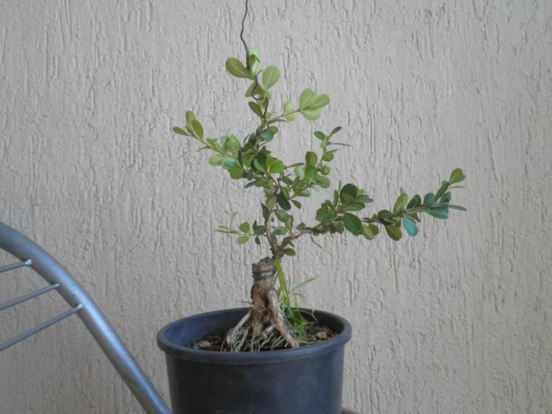 pianta di bosso P8280113